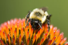 Golden Northern Bumblebee Royalty Free Stock Photo