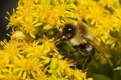 Golden Northern Bumblebee. Stock Photos