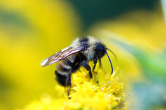 Golden Northern Bumblebee Royalty Free Stock Photos