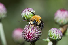 Golden Northern Bumblebee (Bombus sp.) Stock Photos