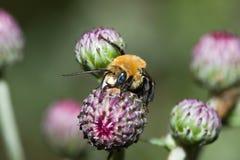 Golden Northern Bumblebee (Bombus sp.) Stock Photos