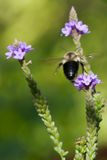Golden Northern Bumblebee in Flight Stock Image