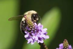 Golden Northern Bumblebee Stock Photo