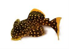 Golden nugget pleco catfish Plecostomus L-018 Baryancistrus xanthellus. Isolated on white background freshwater aquarium fish Stock Photo