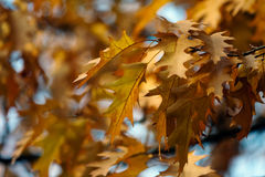 Golden Oak. Royalty Free Stock Photos
