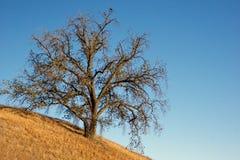Golden Oak On Hillside Stock Photos