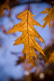 Golden oak leaf at sunset. Stock Photo