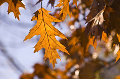 Golden oak leaf at sunset. Royalty Free Stock Photo