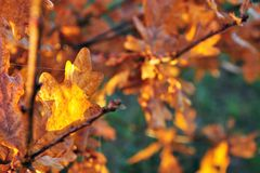 Golden oak leaves on Stock Photos