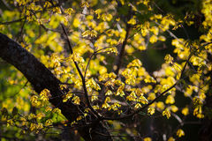 Golden oak leaves in autumn Stock Images