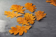 Golden oak leaves. Gray textured wall. Copy space stock photos