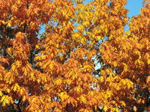 Golden oak tree in autumn Royalty Free Stock Images
