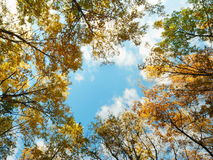 Golden oak tree tops. Looking up at a golden oak tree tops in autumn Stock Photos
