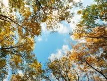 Golden oak tree tops Stock Photos