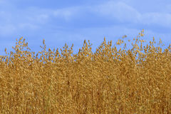 Golden Oat. Oat against blue sky Stock Images