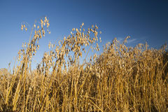GOLDEN OAT. Summer wheat fields and sky Stock Photo