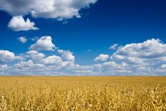 Golden oat field over blue sky Stock Image