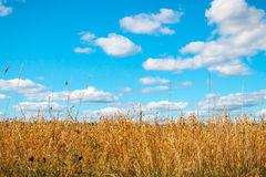 Golden oat field over blue sky and some clouds Royalty Free Stock Photos