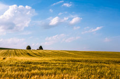 Golden oat meadow with blue cloudy sky. Meadow with intensive golden shining oat in front of a blue sky with white clouds and trees on the horizon Stock Photos