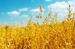 Golden oats close up Stock Photos