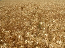 Golden oats field Royalty Free Stock Image