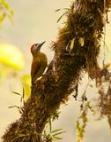 A Golden-Olive Woodpecker Stock Image