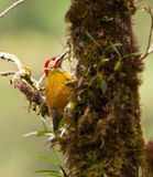 Golden-Olive Woodpecker. The Golden-Olive Woodpeckers´habitat are the cloudy and misty highland rainforests of the peruvian Andes Royalty Free Stock Photos