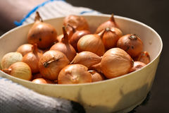 Golden onion. In hands of the farmer Royalty Free Stock Photography
