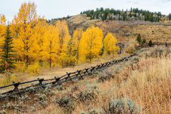 Golden and Orange Aspens of Wyoming. Aspens turning in the fall in Wyoming south of Jackson Hole. Wood rail fence in the foreground Royalty Free Stock Image