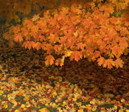 Golden Orange Autumn Leaves Stock Photography