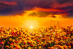 Golden Orange Blue Sunset Ranunculus Flower Field Royalty Free Stock Photo