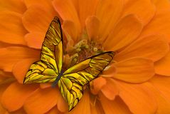 Golden and Orange Butterfly on a Flower Royalty Free Stock Photo