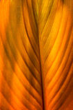 Golden orange canna lily leaf Royalty Free Stock Photo