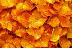 Orange hydrangea flowers. Close-up of a group of golden orange hydrangea flowers royalty free stock image