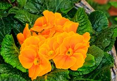 Golden and orange primroses in basket Stock Photo