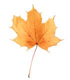 Golden orange and red maple leaf isolated white background. Beautiful autumn maple leaf isolated on white. Stock Photo