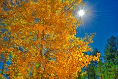Blazing orange and golden yellow aspen leaves with sun and sky backdrop royalty free stock images