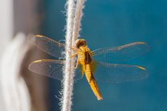 Golden Orange yellow Dragonfly, wings open, Lagos Portugal. Golden Orange yellow Dragonfly, translucent almost transparent wings spread open, Lagos Portugal royalty free stock photography