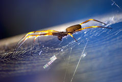 Golden Orb. This image of a golden Orb spider was taken in my back yard, you can get good shots close to home royalty free stock image