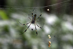 Golden Orb spider Royalty Free Stock Photos