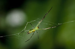 Golden Orb Spider Royalty Free Stock Image