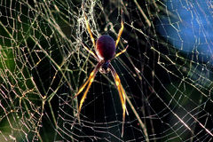 Golden orb spider. The golden orb spider at dawn with the sun behind it, causing the legs to glow Stock Images