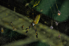 Golden Orb Spider Royalty Free Stock Images