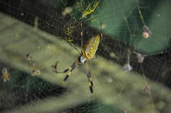 Golden Orb Spider in Corcovado National Park, Costa Rica Stock Images