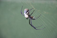 Golden orb spider Royalty Free Stock Photo