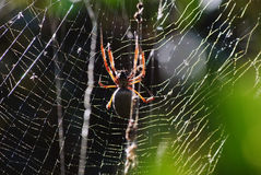 Golden orb spider with golden web Royalty Free Stock Images