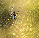 Golden Orb Spider. In her web in the evening golden light royalty free stock images