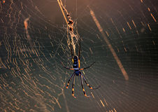Golden Orb Spider in her web Royalty Free Stock Images