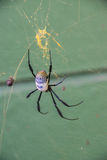 Golden orb spider Royalty Free Stock Photography