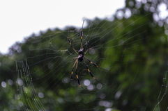 Golden Orb Spider Stock Photo